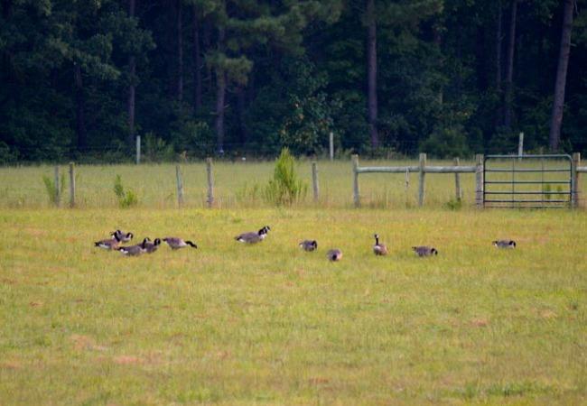 geese in the farmyard 3