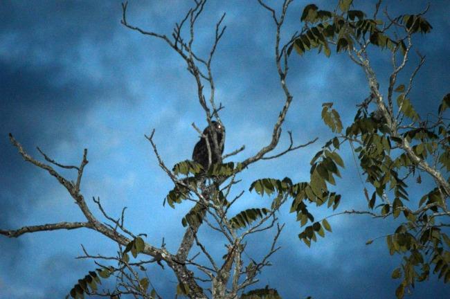 owl at night 1