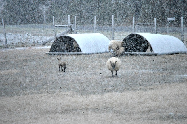 Here's our standard field shelters for the sheep. They move from field to field as needed. They keep of the wind, rain, and snow, when needed. They provide shade, when needed. And they can be bedded with straw to keep the animals off the wet ground.