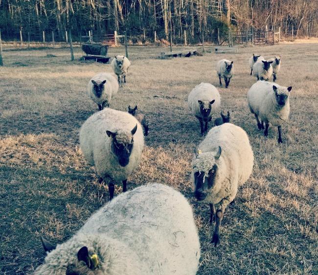 lambs 2015 3