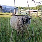 Working the Sheep…the Daily Farm Adventures {85}