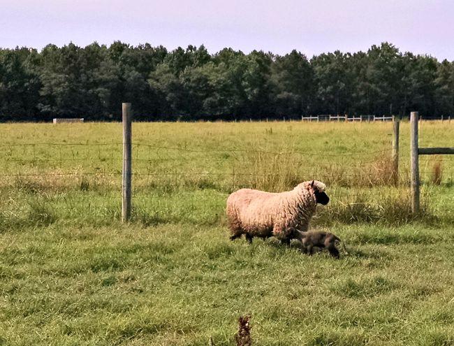 late lamb 02