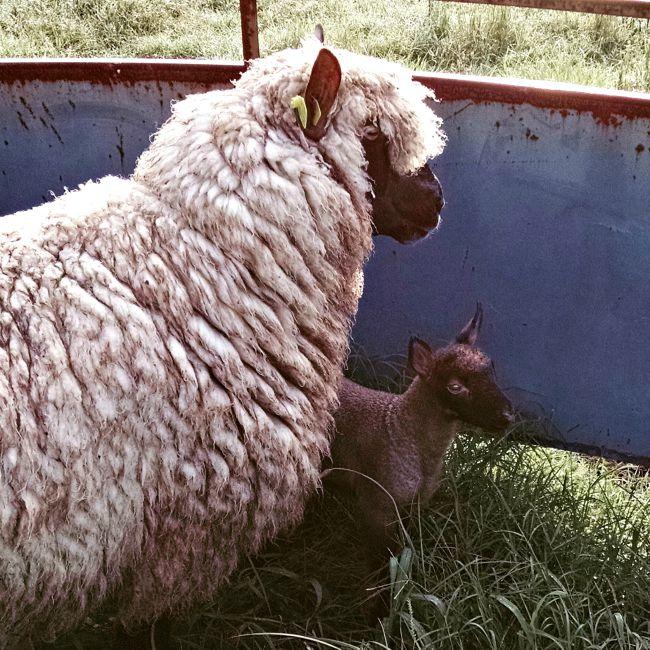 late lamb 06