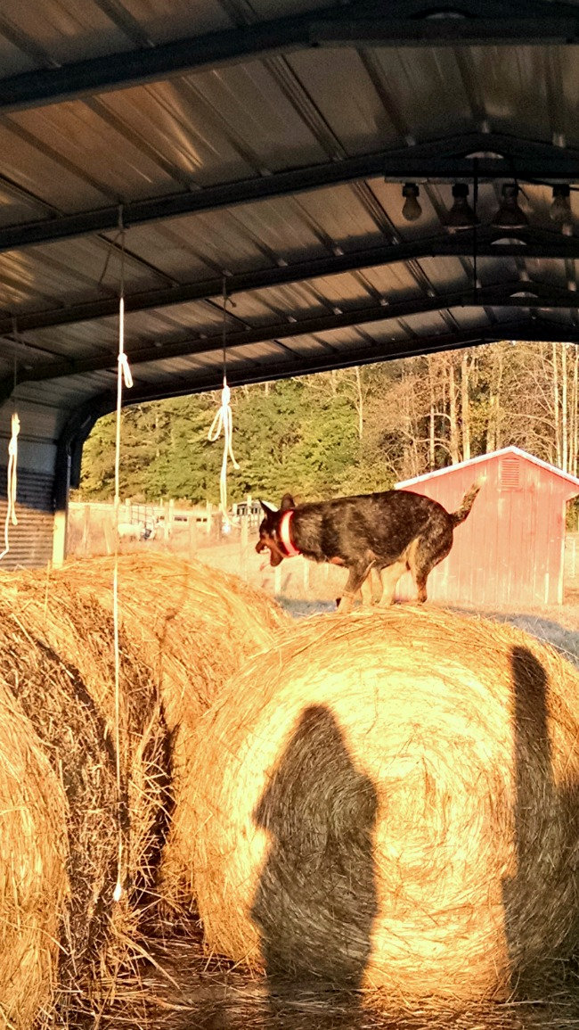 cattle dog in the hay 02