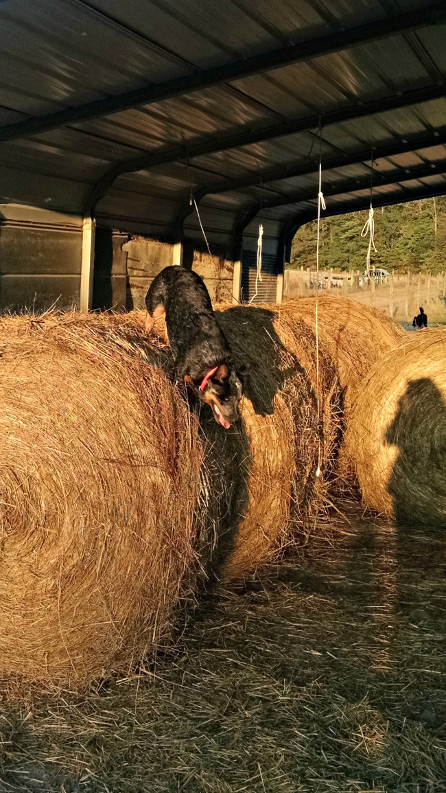 cattle dog in the hay 03