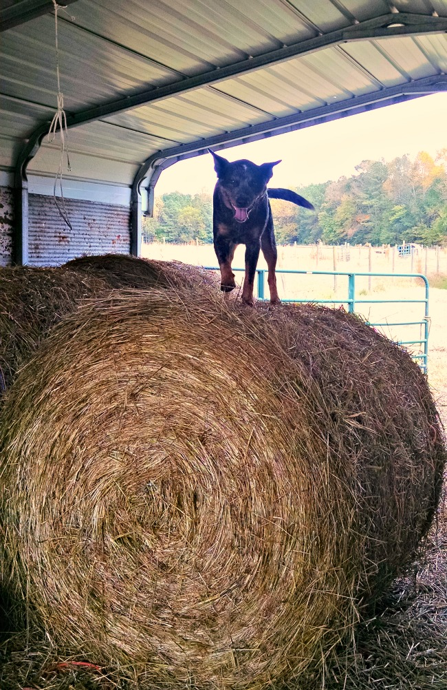 cattle dog in the hay 06