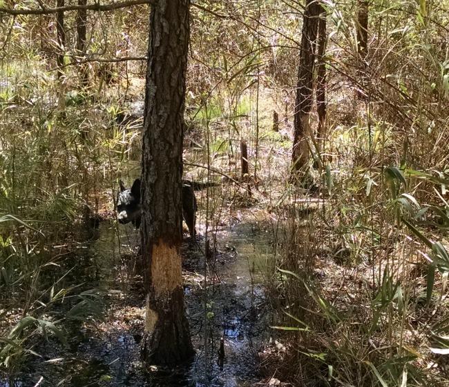 beaver hunting 06