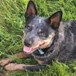 The Cow  Shelter…Life with Coal the Cattle Dog