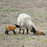 A Set of Twins and Growing Lambs…the Daily Farm Adventures {122}