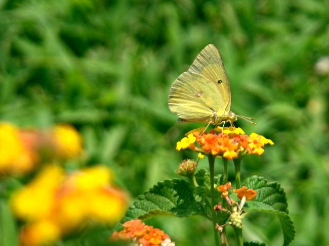 carefree flower beds lantana