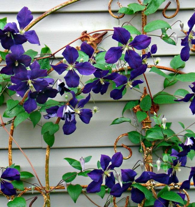 carefree flower beds clematis