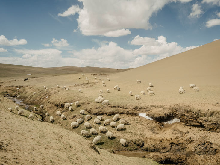 Dozens of sheep graze in the boundary between desert and grassland.