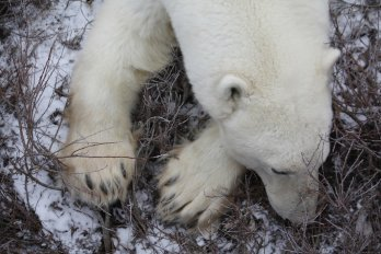 polar bear sitting in brush