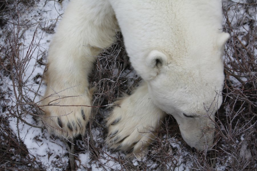 The Problem with Polar Bear Propaganda