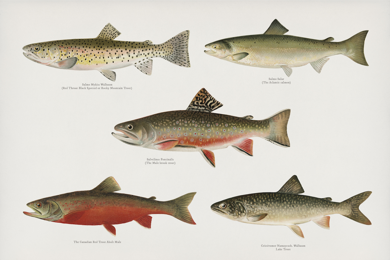 Vintage Illustration of Fish