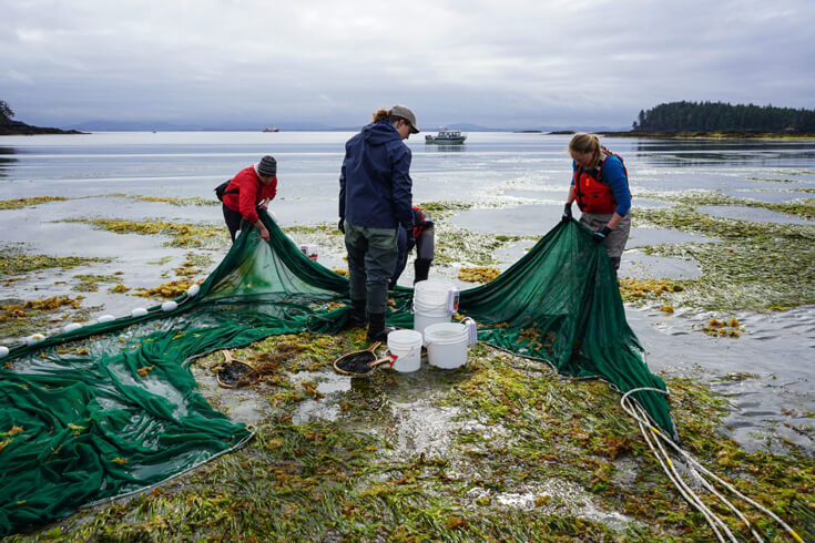 Four researchers equipped with nets and buckets stand in shallow water, surrounded by seaweed.