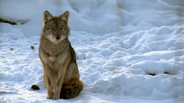 The Urban Coyote