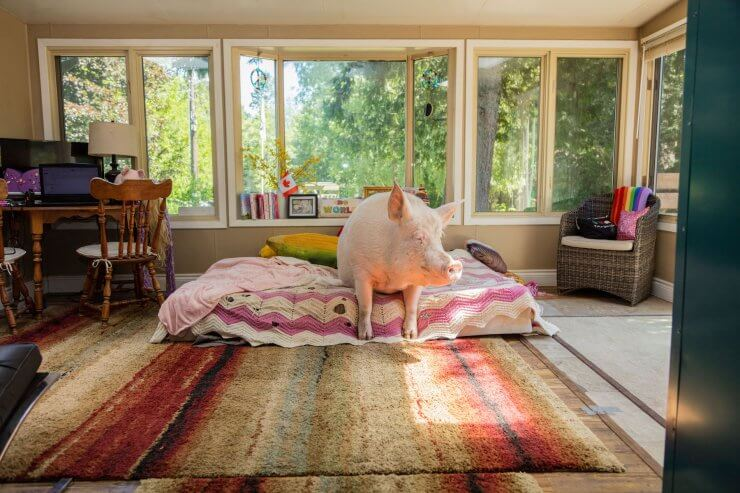 The Charmed Life Of Esther The Wonder Pig The Walrus