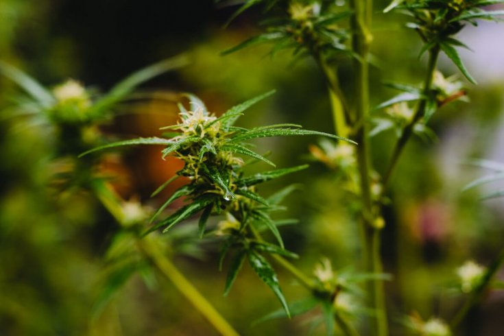 closeup of a cannabis plant