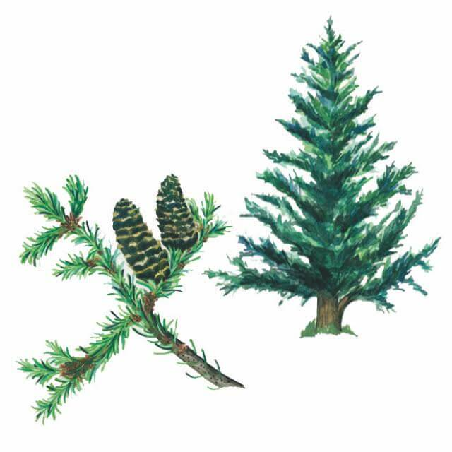 Illustration of spruce by Janice Wu