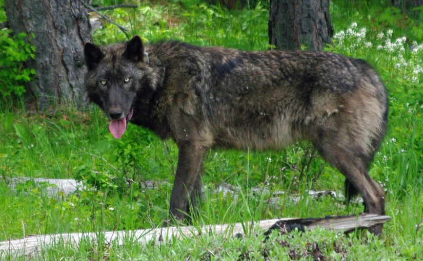 For the First Time Since 1947, a Wolf on Mount Hood