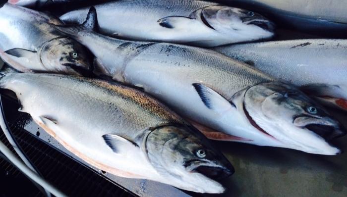 CSF_Chinook_Salmon