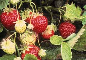 hood_strawberry