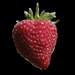 Tillamook_big_strawberry