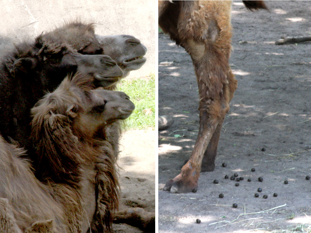 Normal Bactrian Camel waste should look like chocolate-glazed donut holes, explains Bernier. When one of the camels had a loose stool, the zoo studied its fecal matter and learned it was eating too much of the free-growing plant foliage. (WBEZ/Logan Jaffe)