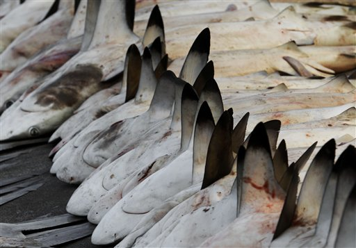 Sharks are lined up for auction at a fish market in Dubai , United Arab Emirates. The global trade in shark fins totals hundreds of millions of dollars a year, and tens of millions of sharks around the world may be caught every year for their fins. Some experts estimate that stocks of some shark species in inshore reef systems around the world have fallen by up to 90 percent. (AP/Kamran Jebreili)