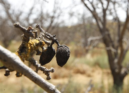 In this Tuesday, July 21, 2015 photo, decaying almonds hang from a dead tree in an almond orchard, in Newman, Calif., abandoned by a landowner who couldn't get enough water for irrigation. Due to California's epic drought, Central Valley farmers who depend on water pumped from the Sacramento San Joaquin River Delta to irrigate their crops, have seen their water allocations reduced or eliminated altogether. (AP Photo/Rich Pedroncelli)