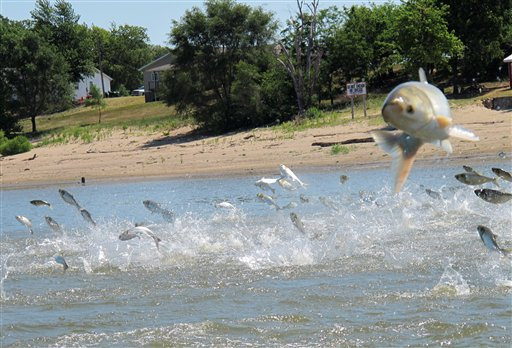 Asian Carp, jolted by an electric current from a research boat, jumping from the Illinois River near Havana, Ill. Scientists on the Mississippi and Illinois rivers use electric currents to stun fish so they can be scooped up and examined. (AP Photo/John Flesher)