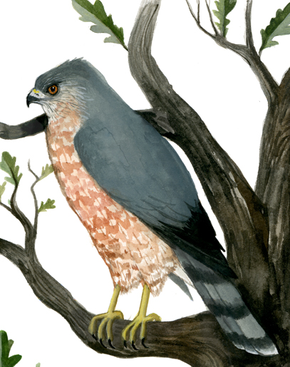 Rendering of a Cooper's Hawk, otherwise known as a Chicken Hawk, by Chicago artist Diana Sudyka.