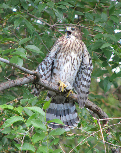 Cooper's Hawks look very similar to Sharp-shinned Hawks, but differences can be detected with key details like tail feather shape. Our field guide gives more clues for distinguishing the species. (Flickr/Mike Ormsby)