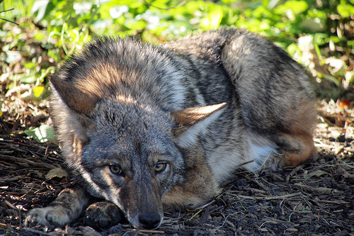 The coyotes who sneak around the streets of Chicago are the most studied in the world. (WBEZ/John Picken)
