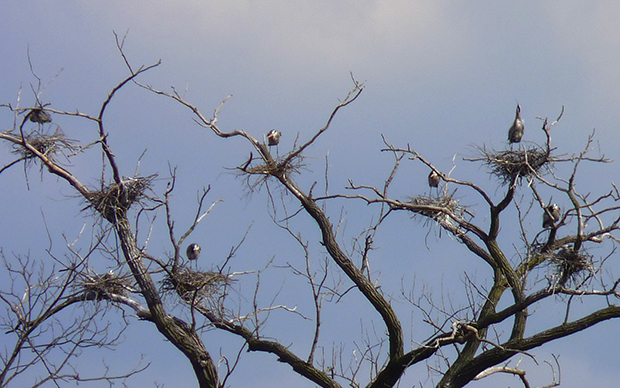 Blue Heron rookery (Flickr/Ann Fisher)