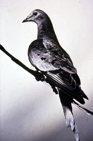 Martha, the last passenger pigeon.  (Enno Meyer/Wikipedia Commons)