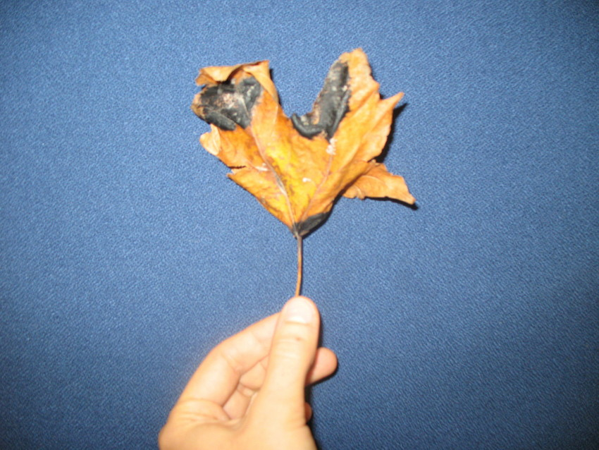 Maple leaf with tar spots (WBEZ/Lewis Wallace)