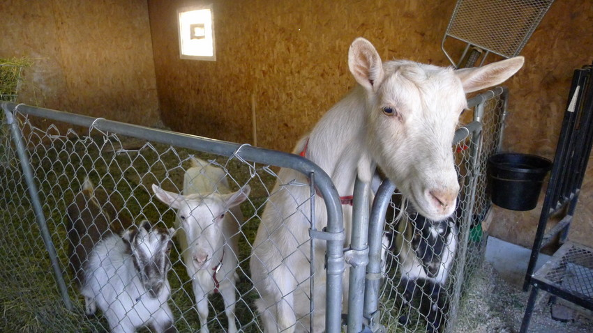 Carolyn Ioder's goats wonder whether microphones are edible. (WBEZ/Lewis Wallace)