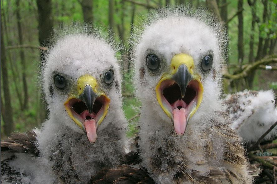 Baby spotted eagles open wide for the camera in the Polessye State Radioecological Reserve in Belarus. (Valeriy Yurko/Polessye State Radioecological Reserve)
