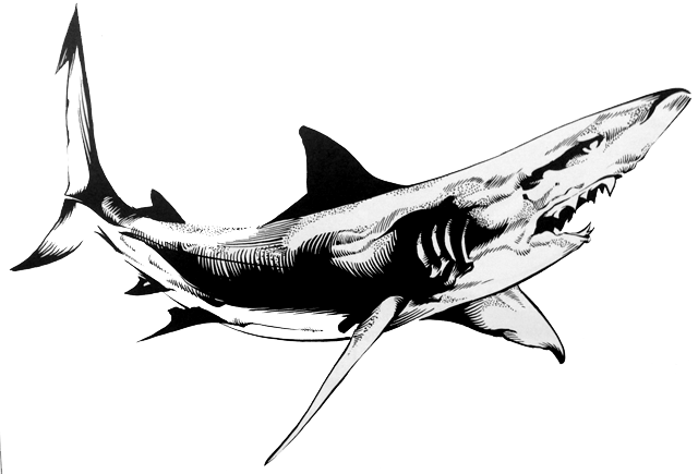 While most shark species can only survive in saltwater, bull sharks have the unusual ability to survive in freshwater, too. (Illustration from the book Man-Eating Sharks)