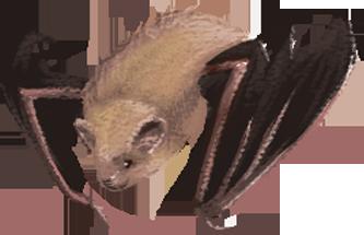 An eastern pipistrelle.
