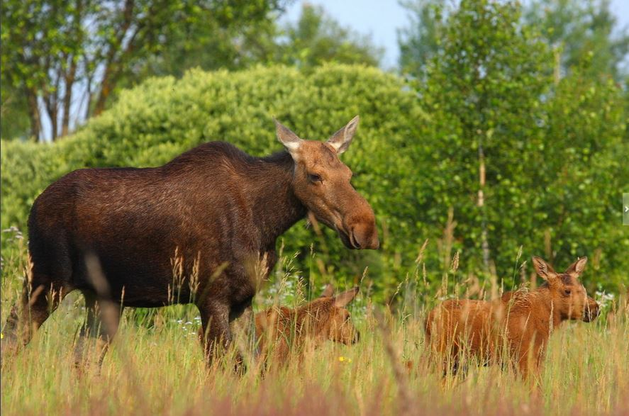 A family of elk rove the forests. (Valeriy Yurko/Polessye State Radioecological Reserve)