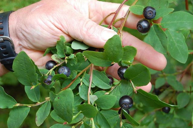 Wild huckleberries in Sitka, Alaska (WBEZ/Louisa Chu)