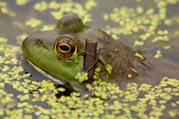 A bullfrog in Wright Woods Forest Preserve. A new NIU study found the invasive plant buckthorn threatens populations of native amphibians. (Flickr/Jeff Goldberg)