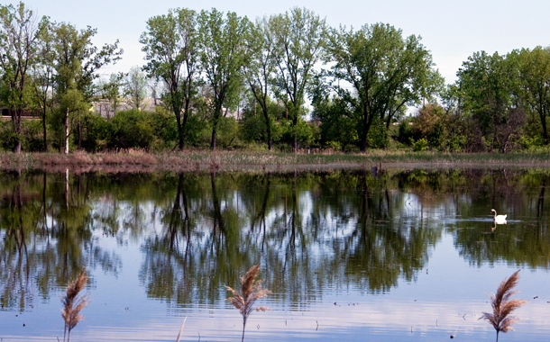 A swan swims the open waters in Hegewisch Marsh, recently replenished by a solar-powered pump. (WBEZ/Chris Bentley)