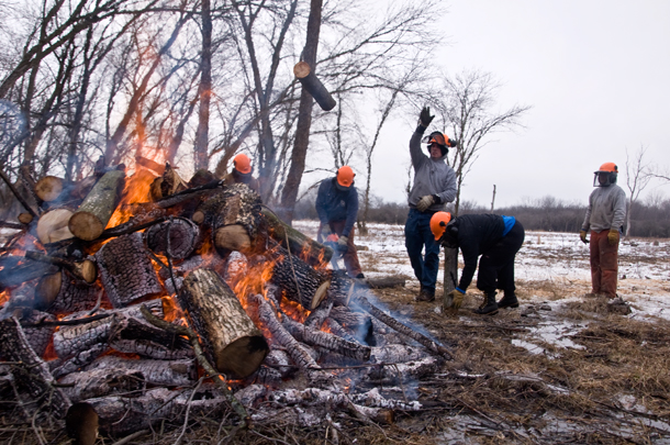 Members of the Calumet Invasive Species Conservation Corps toss sections of felled tress onto a fire in Kickapoo Woods. (WBEZ/Chris Bentley)