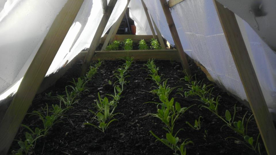Growing spinach as a winter crop in a hoop house. (Photo by Barb Willard)