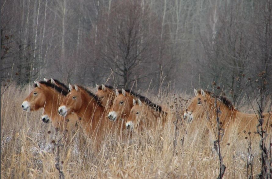 A herd of ponies in the brush. Researchers studying large mammals in the area around Chernobyl found robust population numbers. (Polessye State Radioecological Reserve)