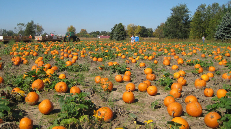 The pumpkin patch at Waldoch Farm in Lino Lakes, Minn. (Kaomi Goetz/NPR)